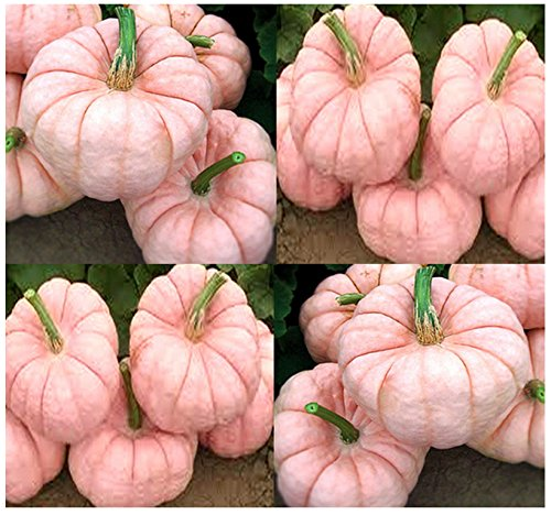 - MySeeds.Co 5 x Porcelain Doll F1 Pink Pumpkin Seeds - RARE EXOTIC for FUND RAISING