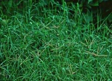 Couchgrass (Couchgrass Root, Cut&Sifted - a.k.a. Dog Grass - Agropyron repens (454g = One Pound) Brand: Herbies Herbs)