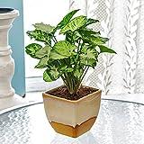 Exotic Green Nice Syngonium Hybrid Indoor Plant Cream & Cookie Pot