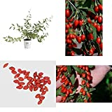 Sweet Lifeberry Goji Berry Live Shrub Purple Flowers Red Fruit 4.5 in. Quart New
