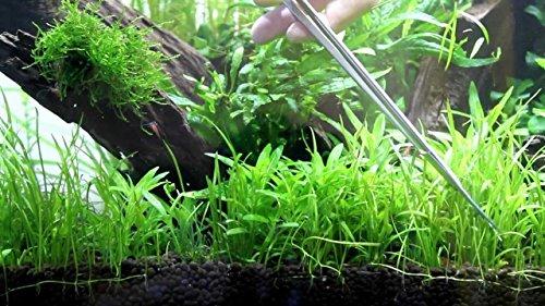 Image of Micro Sword (Lilaeopsis novaezelandiae) - APF Fresh Live Aquarium Plants BUY2GET1FREE