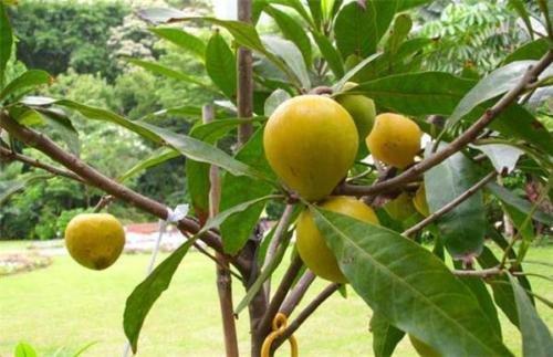 Bruce canistel (Eggfruit) Tropical Fruit Trees by bluestargarden168 (Image #1)