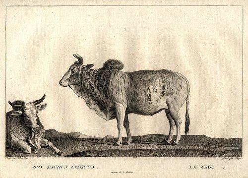 Amazon.com: Bos Taurus Indicus/Le Zebu: Nicolas Marechal ...