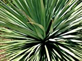 Nolina nelsonii BLUE BEAR GRASS Hardy Exotic SEEDS!