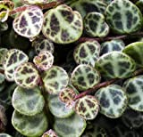 "Rare Holy Cross Plant - Peperomia prostrata - 2"" Pot - Collector' Series - Easy"