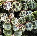 "Rare Holy Cross Plant - Peperomia prostrata - 2"" Pot -HousePlant/Terrarium"