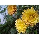 500 YELLOW CHRYSANTHEMUM Morifolium Flower Seeds by Seedville