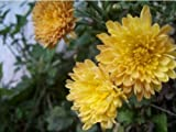 500 YELLOW CHRYSANTHEMUM Morifolium Flower Seeds by Seedville