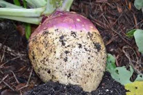 - RUTABAGA SEED, AMERICAN PURPLE TOP, HEIRLOOM, ORGANIC, NON GMO, 25+ SEEDS