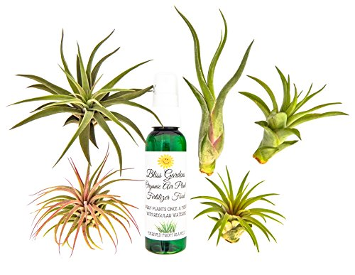 6 pc Air Plant Tillansia Starter Set by Bliss Gardens/Includes 5 Live Plants with 1 Bottle of Organic Fertilizer Food]()