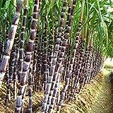 HATCHMATIC Seeds Package: Fd3516 Black Sugar-Cane Seeds Rum Syrup Sweet Rock Sugar Crystals 50 Seed\