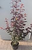 Blutpflaume - Prunus cerasifera - Nigra - schwarzrote Belaubung - essbare Früchte - 60-80 cm