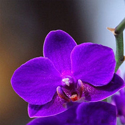 20Pcs Yellow Purple Phalaenopsis Moth Orchid Flower Plant Seed Organically Grown (Purple )