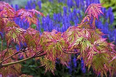 Weeping Green Laceleaf Japanese Maple Viridis - 2 Year Live Plant
