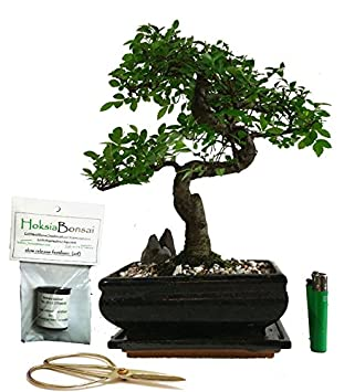 chinese elm basic indoor/outdoor bonsai tree gift set (20cm)
