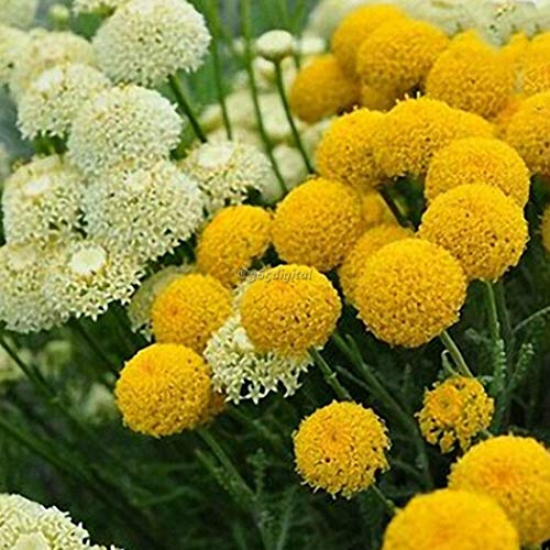 Iekofo Seed house - 30 pcs Giant Ornamental (Allium giganteum) Seeds Exotic Flower Bulbs Seed Hardy Perennial