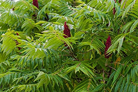 3 Gal Size! Live Tree Permaculture 5 ft Staghorn Sumac Tree Rhus typhina