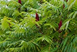 Staghorn Sumac Tree, Rhus typhina, Live Bare Root Plant