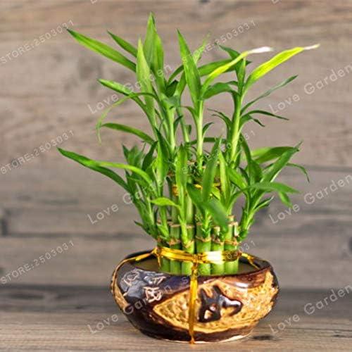Pinkdose 50Pcs Lucky Bamboo Bonsai kleine Topfpflanzen reinigen die Luft das Pflanzen ist einfach angehende Rate von 95/% Zierpflanze-Baum: 4