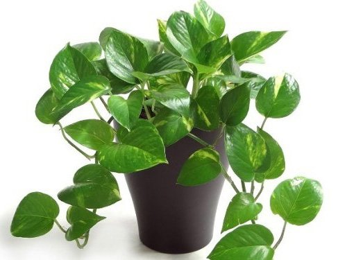 Sanjay Nursery Air Purifier Good Luck Money Plant with Pot...