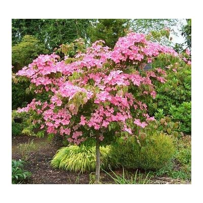 (1 Gallon) Pink Dogwood Tree, Gorgeous Rose Pink Flowers in Spring, Vibrant red Berries and Green Leaves Turn Crimson in Fall. : Garden & Outdoor
