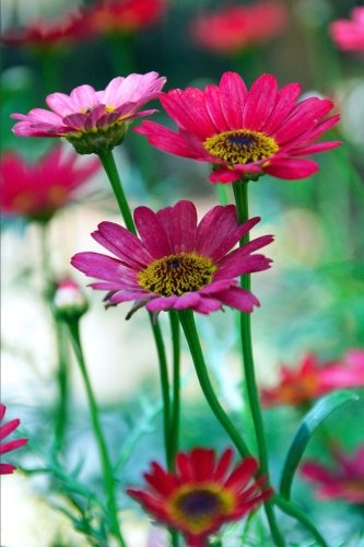Bright Pink Gerbera Daisy Flowers Garden Journal: 150 Page Lined Notebook/Diary