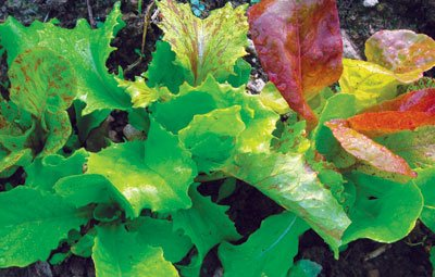 David's Garden Seeds Lettuce Wild Garden Mix (Multi) 200 Organic Seeds