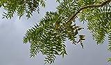 25 Boswellia Serrata Seeds , Indian Frankincense Tree Seeds, Boswellia Serrata Seeds