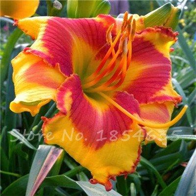 Seeds Shopp New 100 Pcs/Bag Fresh Rare Hybrid Daylily Flowers Seeds Hemerocallis Lily Indoor Bonsai Home Garden