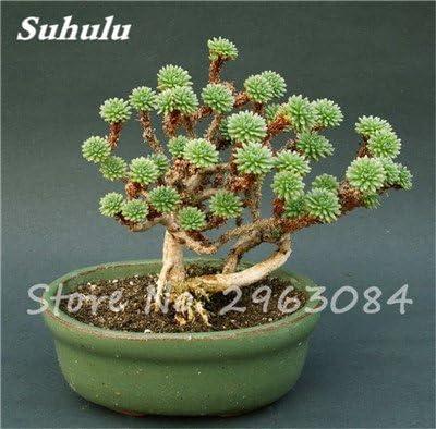 Gran venta! 50 PC semillas de cactus raras plantas suculentas mini jardín Plantar, comestibles Semillas belleza de la fruta de la planta vegeable hierbas 2: Amazon.es: Jardín