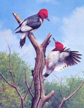 Red Headed Woodpecker (Owen Gromme - Red Headed Woodpecker)