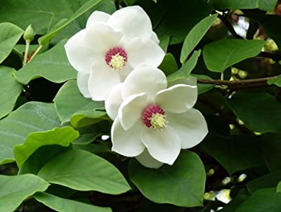 10 Oyama Magnolia Flower Tree White Red & Pink Seed Pod Sieboldii Siebolds Seeds