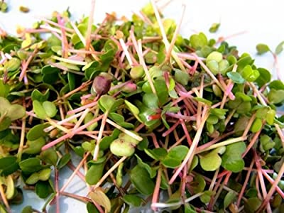 Todd's Seeds Radish Microgreen & Sprouting Seed Sampler - Includes 4 Unique Radish Seed Varieties