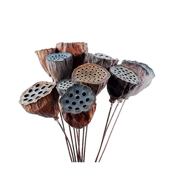 NWFashion 10PCS/Package Mini Natural Dried Brwon Lotus Pods Seeds Inside with Stems (2-6CM)
