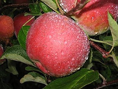 McIntosh Apple Tree Semi-Dwarf - Healthy - Established - 1 Gallon Trade Pot - 1 each by Growers Solution