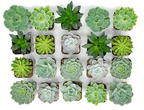 Succulent Plants | 20 Echeveria Succulents | Rooted in Planter Pots with Soil |Real Live Indoor Plants | Gifts or Room Decor by Plants for Pets by Plants for Pets (Image #2)
