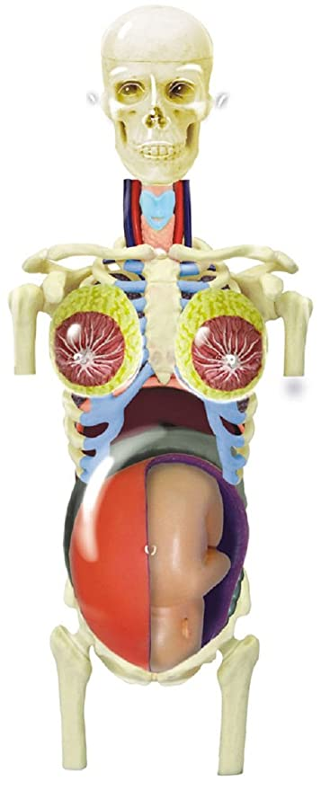 Amazon.com: Skynet three-dimensional puzzle 4D VISION human anatomy ...