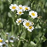 Costmary Seeds (Tanacetum balsamita) 20+ Rare Medicinal Herb Seeds + FREE Bonus 6 Variety Seed Pack - a $29.95 Value! Packed in FROZEN SEED CAPSULES for Growing Seeds Now or Saving Seeds for Years