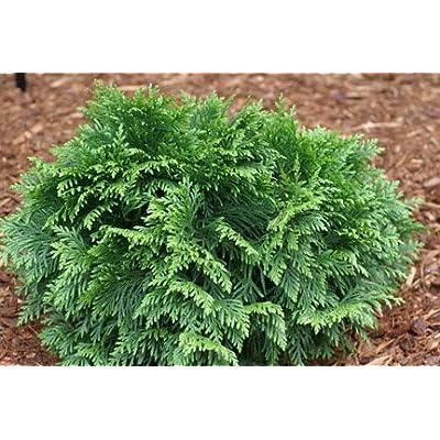 Pygmy Dwarf Western Red Cedar 2 - Year Cutting : Shrub Plants : Garden & Outdoor