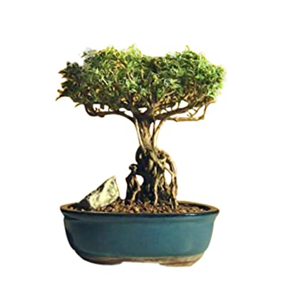 Tree Bonsai Flowering Live Plant Mount Fuji Serissa with Raised Roots Indoor Houseplant - USA_Mall: Garden & Outdoor