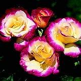 Buy 3 get 2 Free Double Delight Hybrid Tea Rose 120 pcs Seeds Bush Bonsai Yard