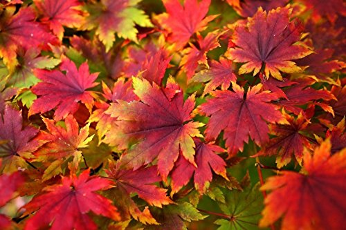 Korean Maple - Tolerates Extreme Cold, Surviving In Climates Where Japanese Maples Cannot, Hardy to -40F - 2 Year Live Plant by Japanese Maples and Evergreens (Image #5)