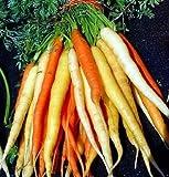 Rainbow Carrot 350 Seeds - A Rainbow of Color & Flavor! - Pelletized