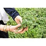 Za'atar, Zaatar Plant Seeds, Bible Hyssop, Syrian Oregano (100 Seeds) Ez to Grow !