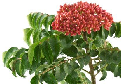 Murraya koenigii Curry Tree 10 fresh seeds Western Eden