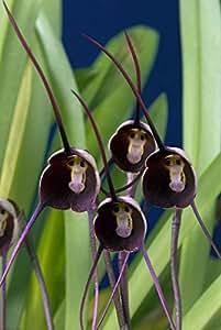 9 tipos raros preciosos lindo Semillas maceta Perú la cara del mono de la orquídea Phalaenopsis Superior Orchis Bonsai Plantas semillas de flor multicolores