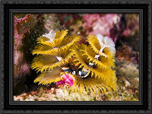 Christmas Tree Worm Filter Feeding While Attached to Great Star Coral, Bonaire, Netherlands Antilles 24x17 Black Ornate Wood Framed Canvas Art by Oxford, Pete (Christmas Black Pete Netherlands)