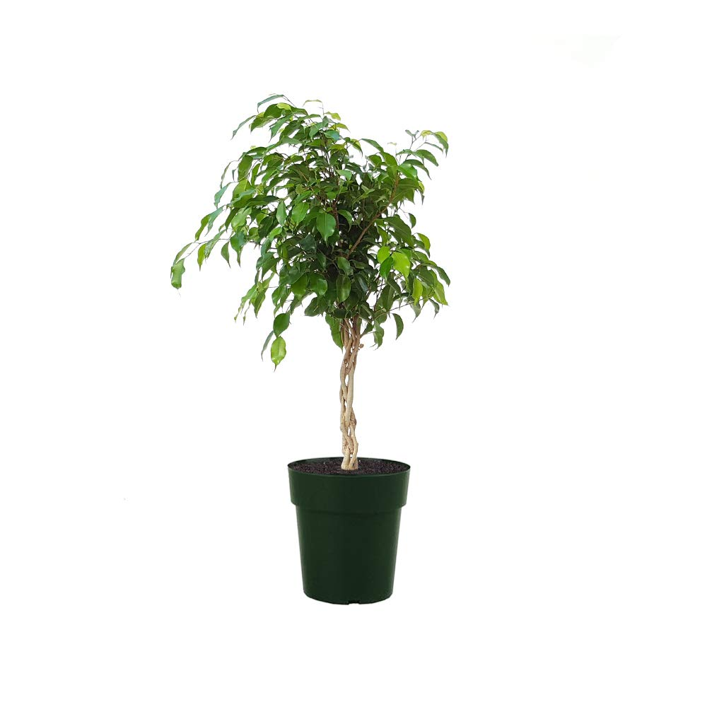AMERICAN PLANT EXCHANGE Braided Ficus Benjamina Weeping Fig Easy Care Live Plant, 6'' Pot, Indoor/Outdor Air Purifier!