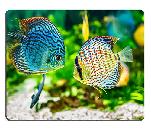 Price comparison product image Luxlady Mousepad Symphysodon discus in an aquarium on a green background IMAGE 20326231