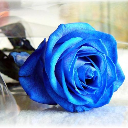roseblue-byrisa-egrow-50pcs-blue-rose-seeds-blue-lover-rose-seeds-diy-home-garden-dec-bonsai-plant